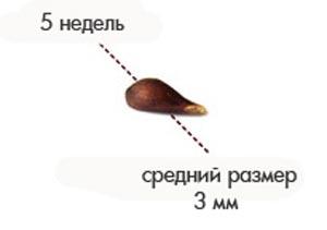 Размер плода на 5 неделе беременности