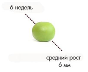 Размер плода на 6 неделе беременности