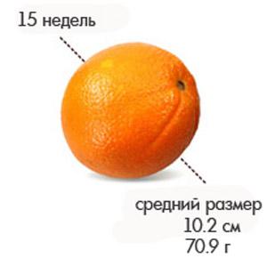 Размер плода на 15 неделе беременности