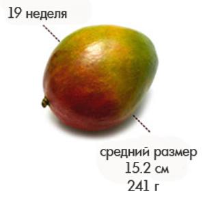Размер плода на 19 неделе беременности
