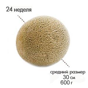 Размер плода на 24 неделе беременности