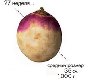 Размер плода на 27 неделе беременности